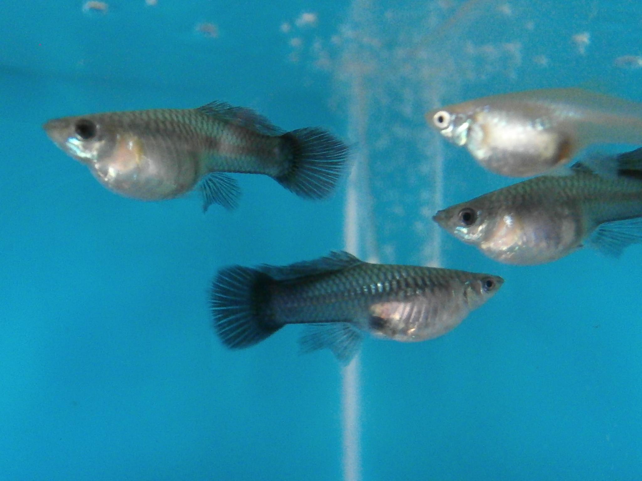 Беременные рыбки гуппи фото 10