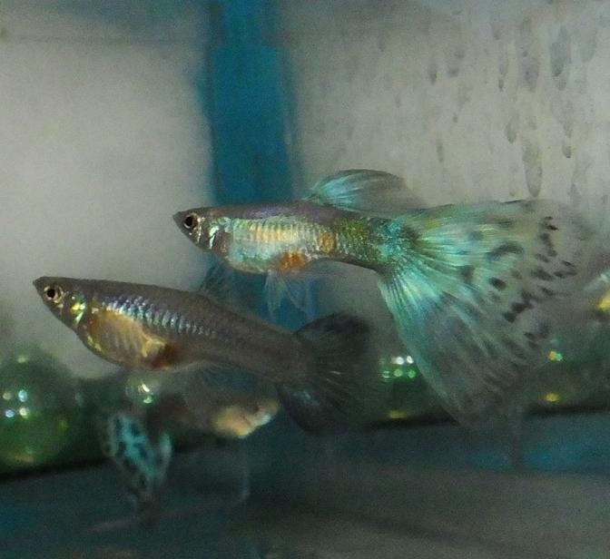 bicolorguppyDSCF0912