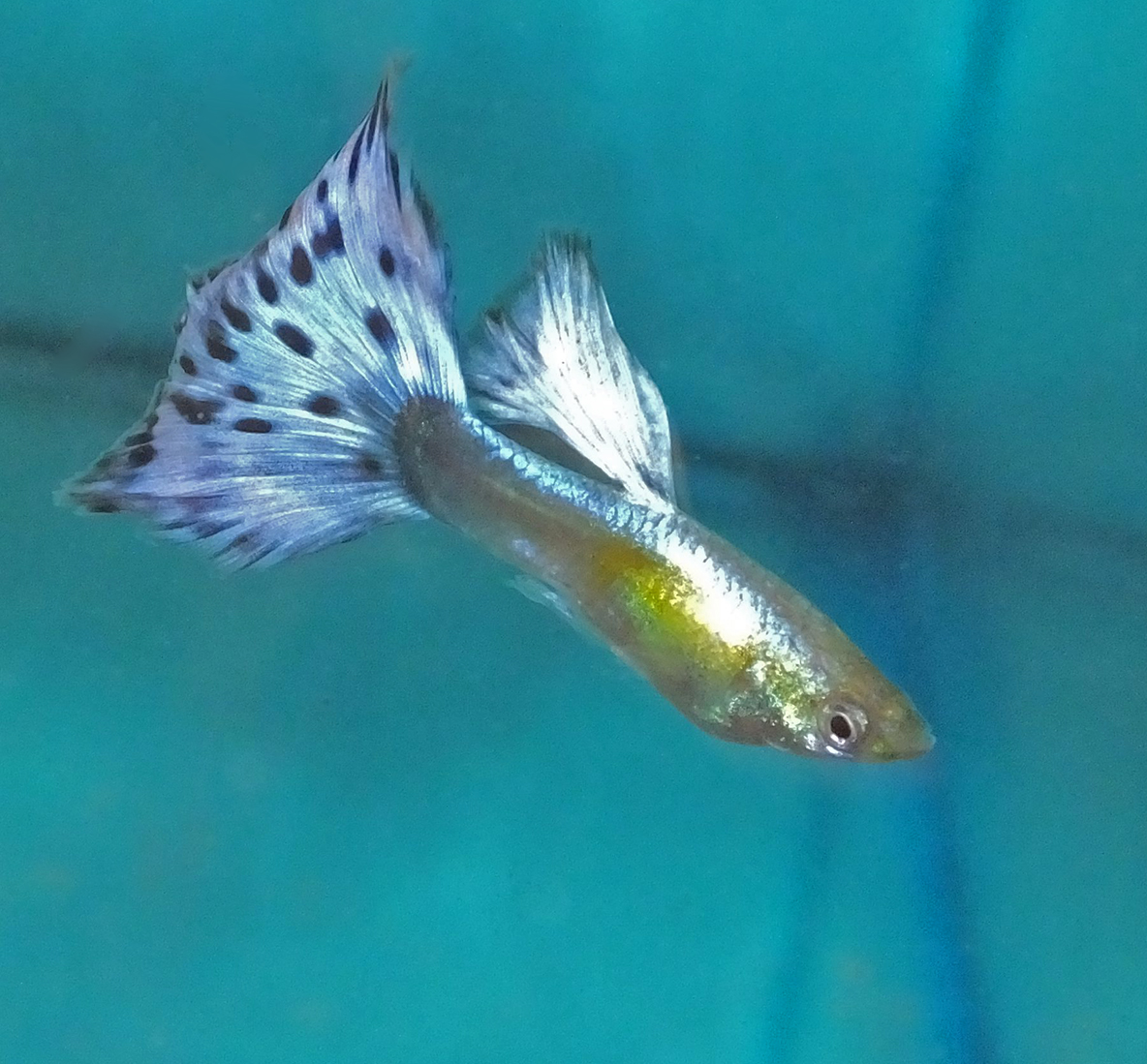 Platinum Ivory Half Moon Blue Mosaic Guppies Terry Aley