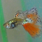 A Few Guppy Snapshots for the Week