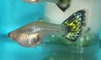 Monster Fish Keepers — Female Guppies