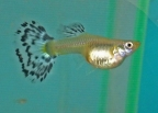 How About Some Female Guppies