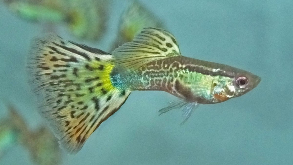 A Multi Guppy X Snakeskin Cross