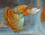 Red Mosaic Male Guppies