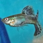 Silver/Metallic Looking Blue Mosaic Guppy