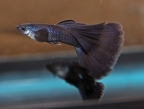 Black Moscow Male Guppies