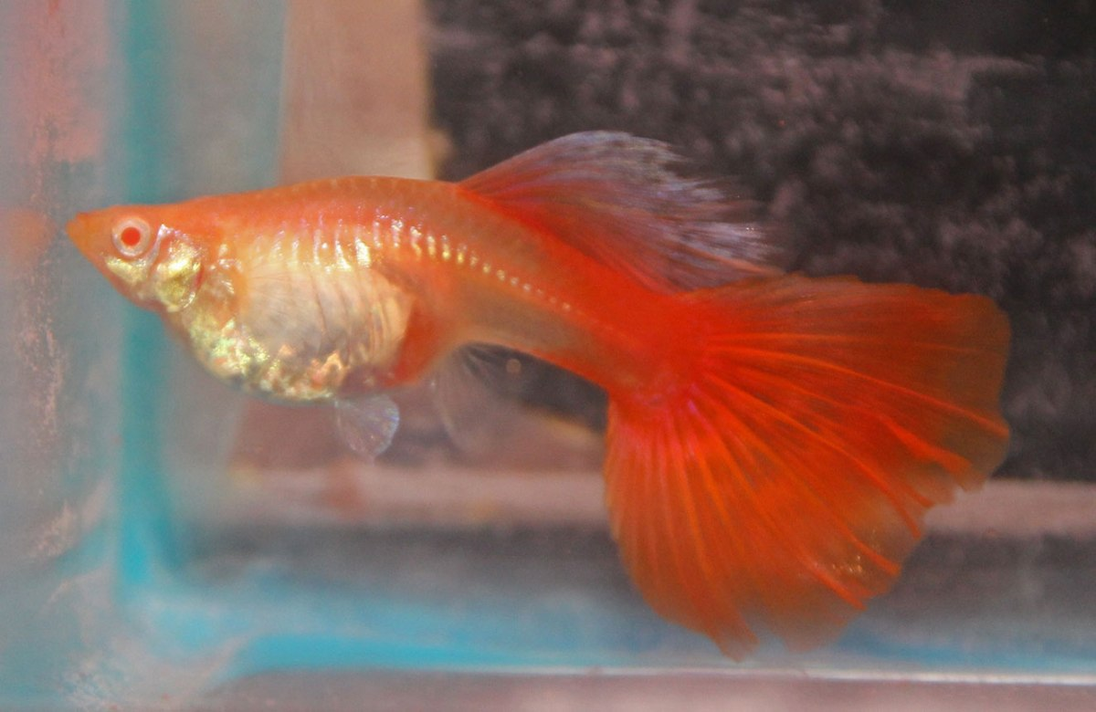 Red Albino Female Guppy