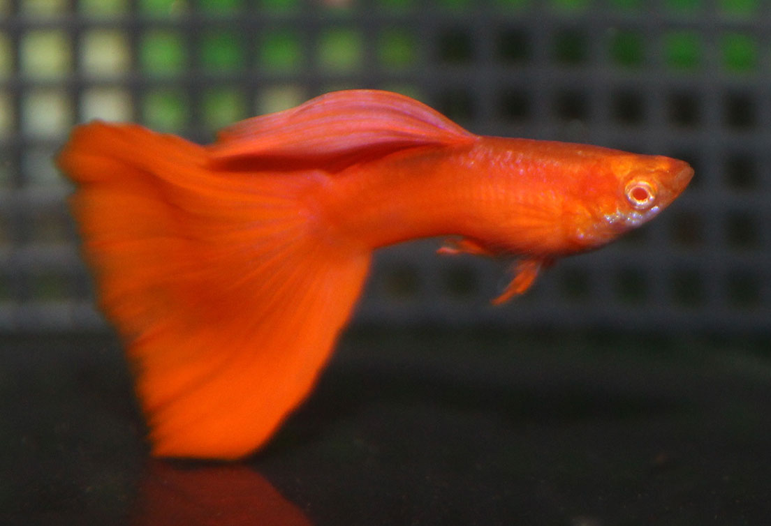 RREA Red Albino Guppy Pair – Terry Aley\'s Guppy Site