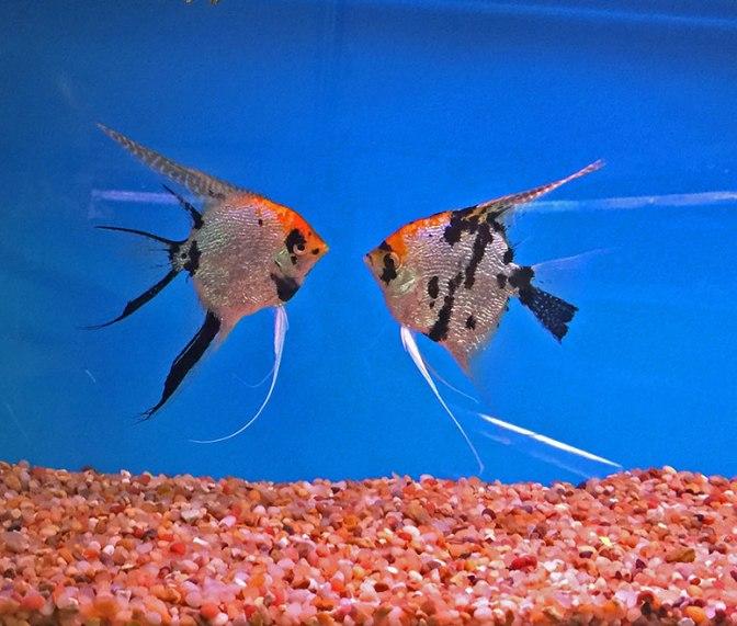 angelfish2