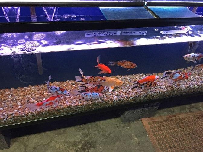 chinesegoldfish