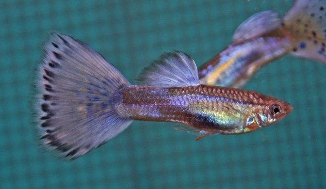 purplegrassguppyIMG_9063