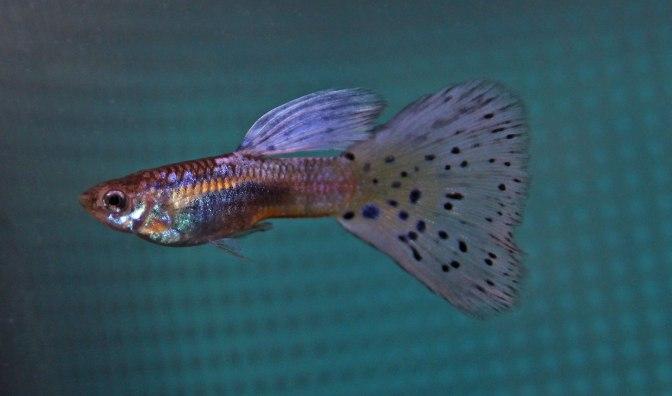 purplegrassguppyIMG_9072