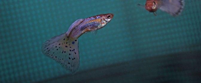 purplegrassguppyIMG_9078