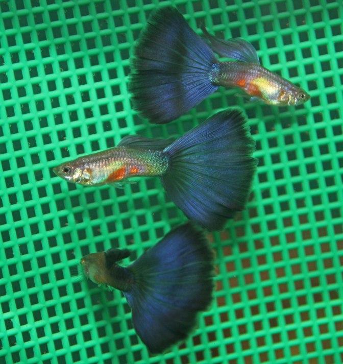 PurpleGuppiesIMG_8703