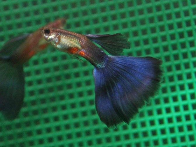 purpleguppyIMG_8801