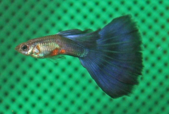 purpleguppyIMG_8807