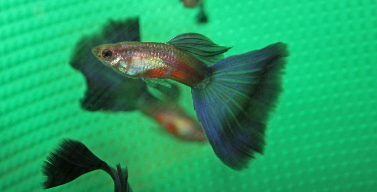 Purple Male Guppies