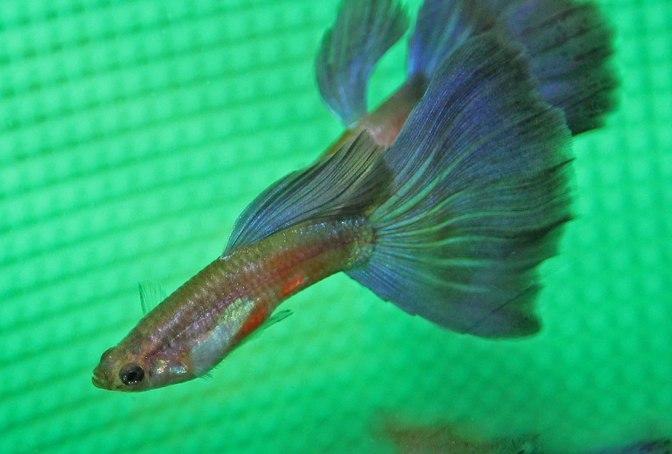 purpleguppyIMG_8843
