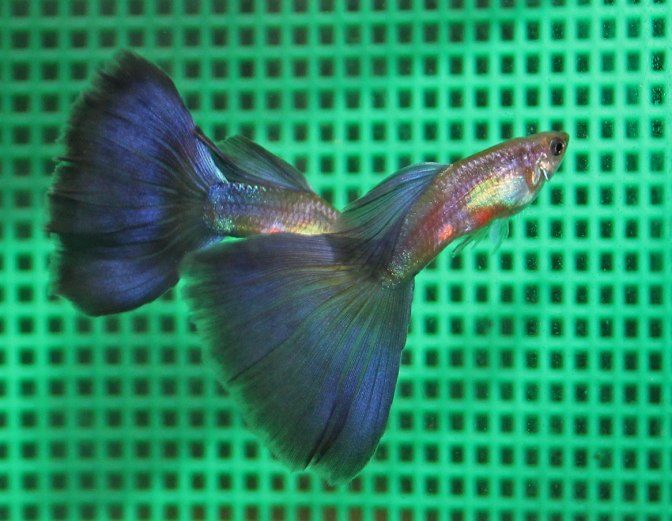 purpleguppyIMG_8845