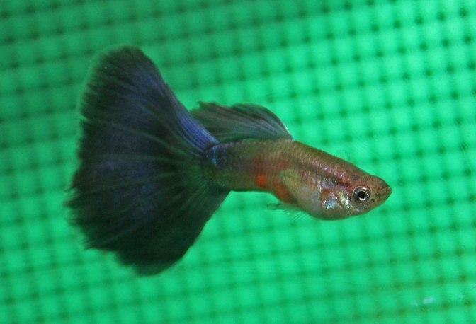 purpleguppyIMG_8870