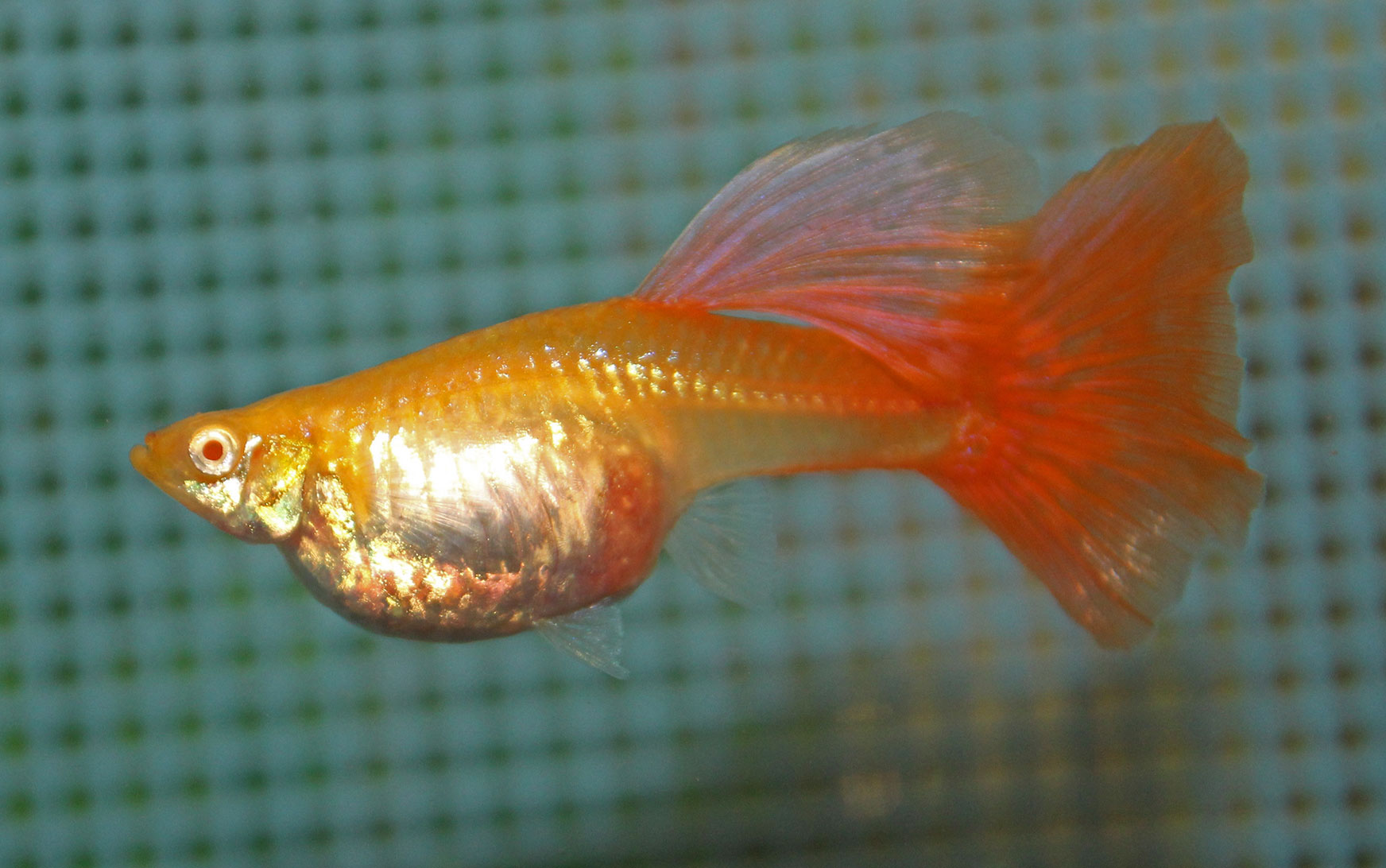 A red albino female guppy terry aley 39 s guppy site for Fish dream meaning pregnancy