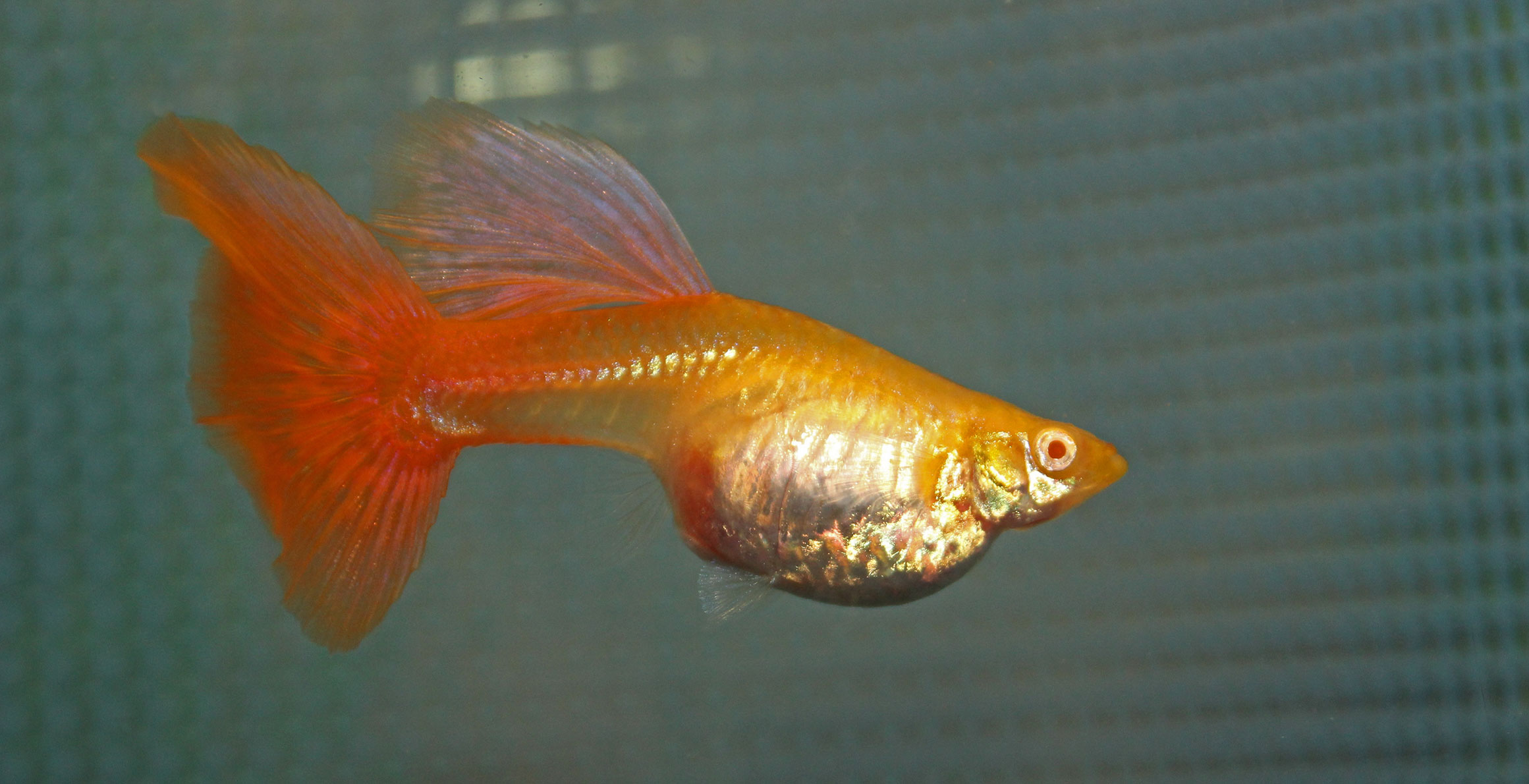 Guppy pregnancy stages related keywords guppy pregnancy for Fish dream meaning pregnancy