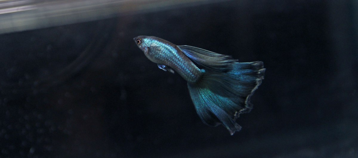 A Blue Moscow Guppy Project