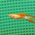 Double Sword Male Guppies