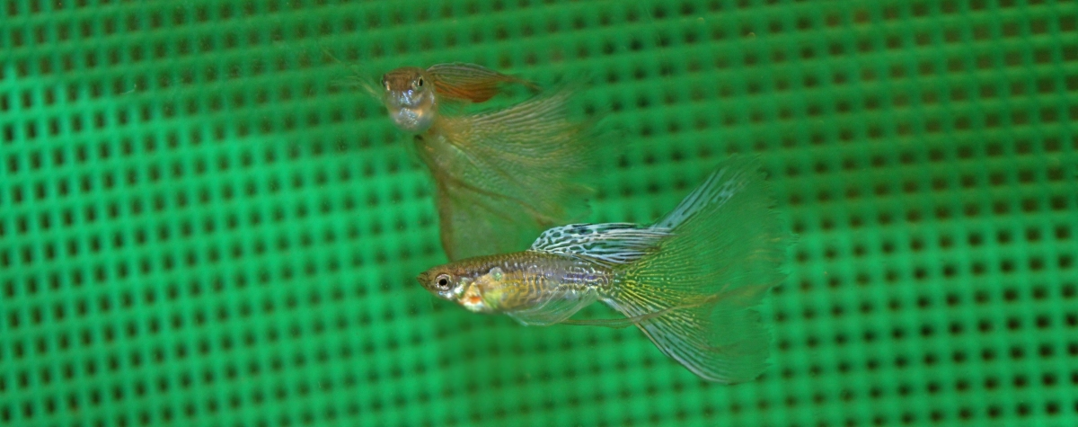 Longfin Guppies