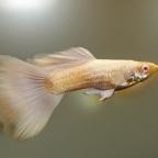 Platinum Albino Guppies