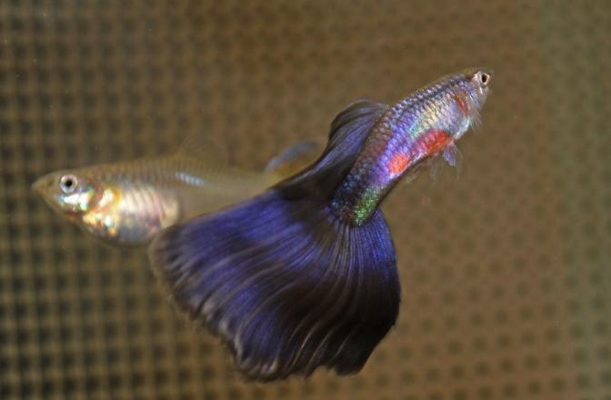 purpleguppiesIMG_3384