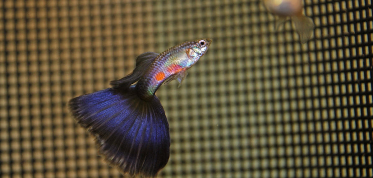 Purple Delta Male