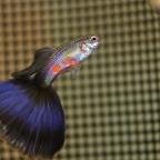 Purple Delta Male