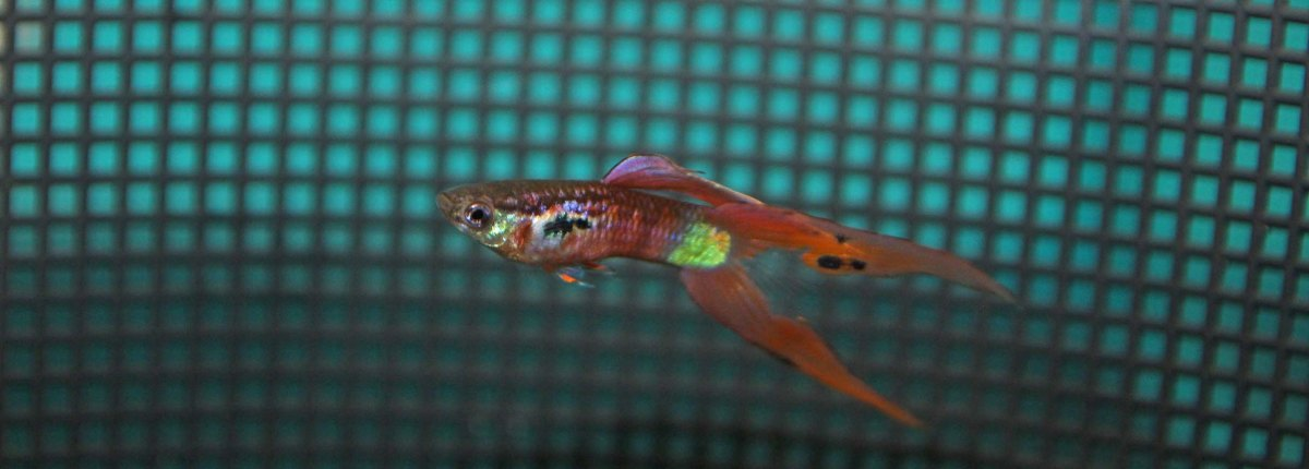 Some Swordtail Guppies at the IFGA Annual (October 2016)