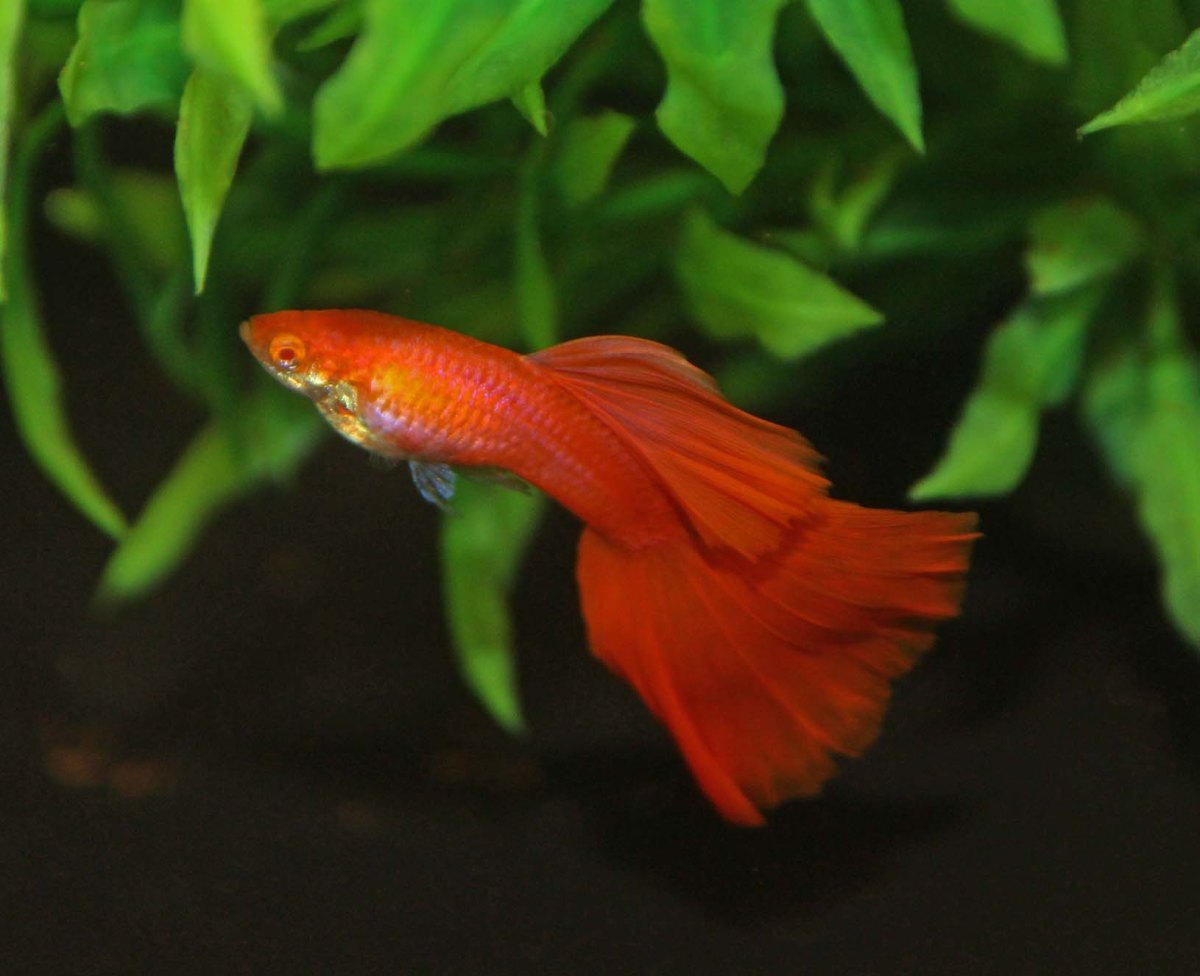 Some Red Albino Guppies (RREA) – Terry Aley\'s Guppy Site